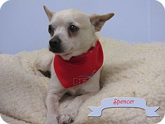 Chihuahua Mix Dog for adoption in Hillsboro, Texas - Spencer