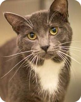 Domestic Shorthair Cat for adoption in Hillside, Illinois - Hunter- SNUGGLY SMALL