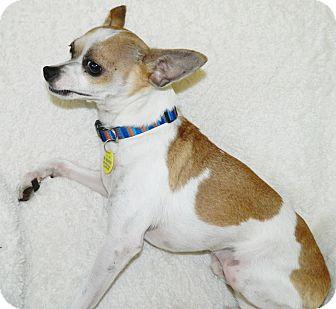 Chihuahua Mix Dog for adoption in Umatilla, Florida - Barney