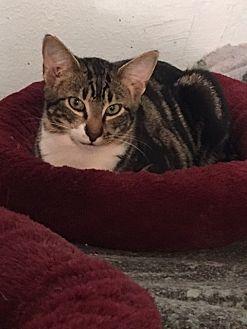 Domestic Shorthair Cat for adoption in Alpharetta, Georgia - Chewie