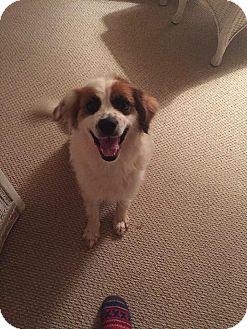 Australian Shepherd Mix Dog for adoption in Arlington, Virginia - Sydney