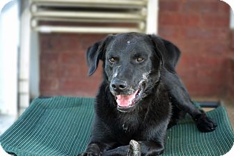 Labrador Retriever Mix Dog for adoption in Bedminster, New Jersey - Remington