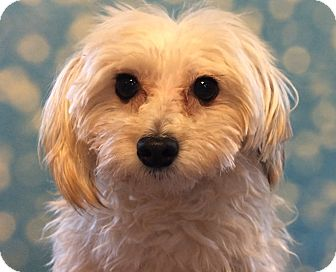 Maltese/Poodle (Miniature) Mix Dog for adoption in Hagerstown, Maryland - Trinket