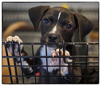Labrador Retriever Mix Puppy for adoption in Freeport, New York - Sari