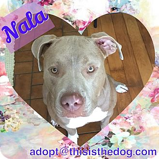 Terrier (Unknown Type, Medium)/American Bulldog Mix Dog for adoption in Homestead, Florida - Nala