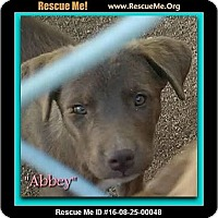 Adopt A Pet :: Abbey - Encino, CA