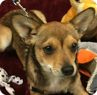 Chihuahua Mix Puppy for adoption in Hagerstown, Maryland - Foxy