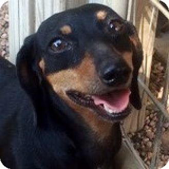 Dachshund Dog for adoption in Houston, Texas - Christie Crispin