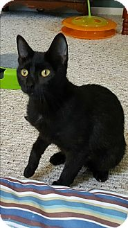 Domestic Shorthair Cat for adoption in Mount Clemens, Michigan - Katie