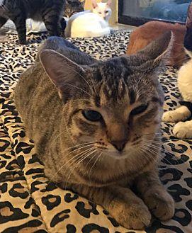 Domestic Shorthair Cat for adoption in Lauderhill, Florida - Peanut