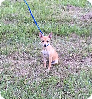 Chihuahua Mix Dog for adoption in Baton Rouge, Louisiana - Carley
