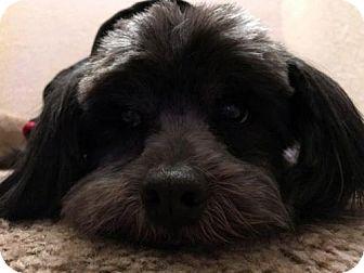 Lhasa Apso Mix Dog for adoption in Portland, Oregon - Mister Zen