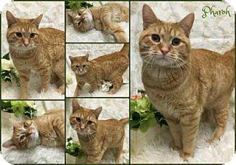 Domestic Shorthair Cat for adoption in Joliet, Illinois - Pharoah
