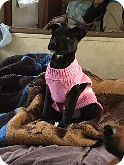 Labrador Retriever Mix Puppy for adoption in Acworth, Georgia - Aimee Caitlin