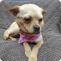Adopt A Pet :: Candy - Allen town, PA