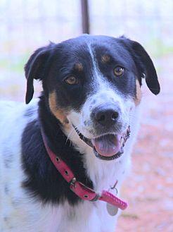 Foxhound Mix Dog for adoption in O Fallon, Illinois - Iris