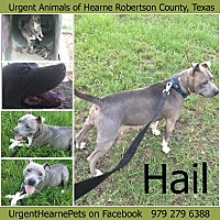 American Pit Bull Terrier Mix Dog for adoption in Hearne, Texas - Hail