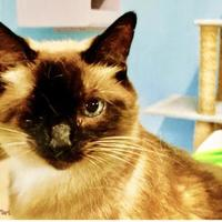 Domestic Shorthair/Siamese Mix Cat for adoption in Metairie, Louisiana - Kelsey