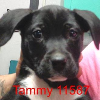 Labrador Retriever/Dalmatian Mix Dog for adoption in Manassas, Virginia - Tammy