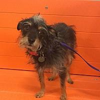 Schnauzer (Miniature)/Chihuahua Mix Dog for adoption in Flower Mound, Texas - Jameson