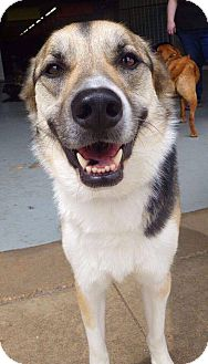 German Shepherd Dog Mix Dog for adoption in waterbury, Connecticut - Ella
