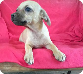 Chihuahua Puppy for adoption in Lawrenceville, Georgia - Midge