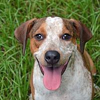 Adopt A Pet :: 10311742 SHIRLEY - Brooksville, FL