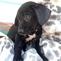 Adopt A Pet :: Tidbit - San Diego, CA