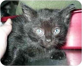 Domestic Mediumhair Kitten for adoption in San Clemente, California - RAMONA