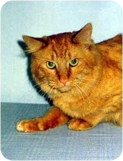 Domestic Longhair Cat for adoption in Medway, Massachusetts - Jimbo