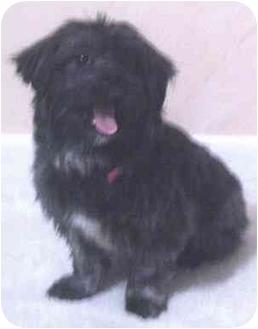 Shih Tzu/Pomeranian Mix Dog for adoption in Coal City, West Virginia - Fatty Boy
