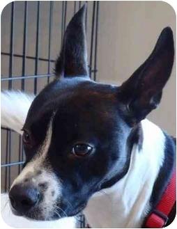 Basenji/Boston Terrier Mix Dog for adoption in Overland Park, Kansas - Ozo