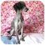 Photo 4 - Poodle (Standard) Dog for adoption in Marion, North Carolina - Missi