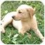 Photo 3 - Labrador Retriever Mix Puppy for adoption in Harrisonburg, Virginia - Pollyanna