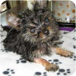 Yorkie, Yorkshire Terrier Puppy for adoption in Tallahassee, Florida - Bentlee