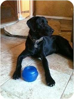 Labrador Retriever Dog for adoption in Coppell, Texas - Murphy