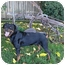 Photo 4 - Rottweiler Dog for adoption in Sacramento, California - Bear purebred