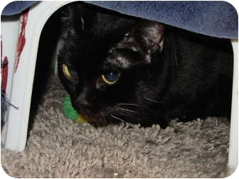 Bombay Cat for adoption in Syracuse, New York - Maui