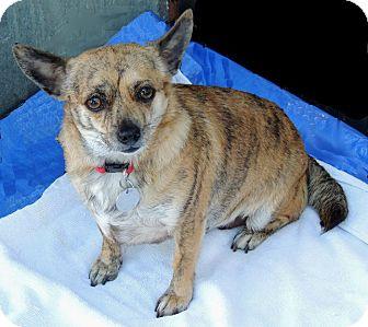 Corgi/Chihuahua Mix Dog for adoption in Tumwater, Washington - Willa
