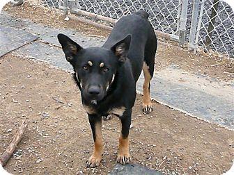 German Shepherd Dog/Rottweiler Mix Dog for adoption in Liberty Center, Ohio - Amy