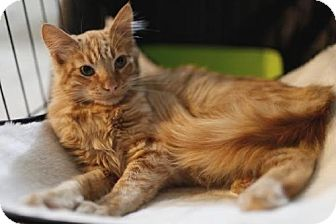 Maine Coon Kitten for adoption in Oakland, California - Ezekiel Lovejoy