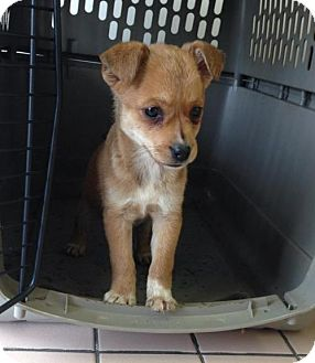 Chihuahua/Jack Russell Terrier Mix Puppy for adoption in Newburgh, Indiana - Athena