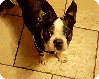 Boston Terrier Dog for adoption in Red Lion, Pennsylvania - Rachel