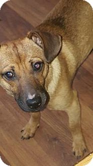 Dachshund/Chihuahua Mix Dog for adoption in Des Moines, Iowa - Shorty
