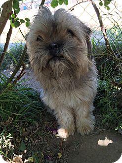 Shih Tzu/Terrier (Unknown Type, Small) Mix Puppy for adoption in Studio City, California - Pepsi