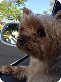 Yorkie, Yorkshire Terrier Mix Dog for adoption in Parker, Colorado - DYLAN