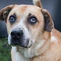 Shepherd (Unknown Type) Mix Dog for adoption in Loxahatchee, Florida - Pinta