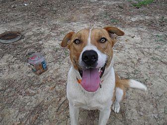 Rhodesian Ridgeback/Bulldog Mix Dog for adoption in Blountstown, Florida - Kodak