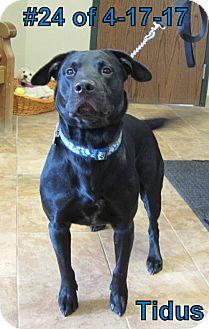 Labrador Retriever Mix Dog for adoption in Gaylord, Michigan - Titus