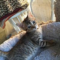 American Shorthair Kitten for adoption in Metairie, Louisiana - Christina